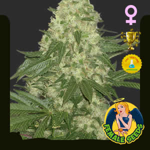 Critical Kush Feminized