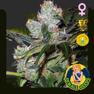 Critical Skunk Feminized