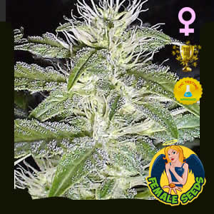 Strawberry Ice Feminized